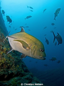 Big trevally on the fantasttic divesite, the boiler, San ... by Christian Nielsen 